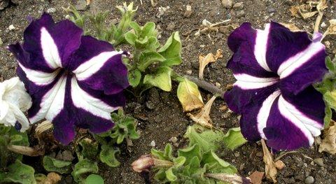 FOTKA - Bílofialové petunie