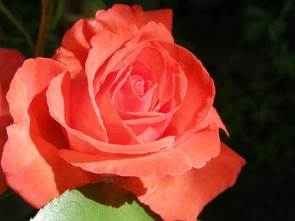 FOTKA - růže.,.,.,.,.,,..