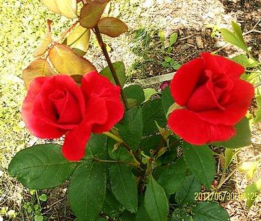 FOTKA - Růže 3