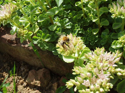 FOTKA - včela + květ netřesku
