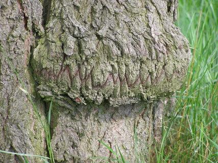 FOTKA - zubatý strom