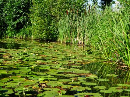 FOTKA - flora na hladině rybníku
