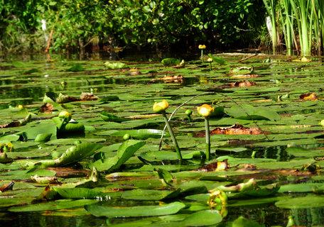 FOTKA - vodní rostliny na hladině rybníka