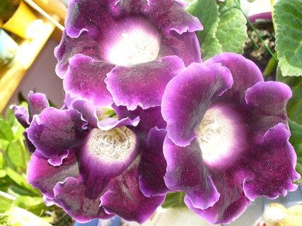FOTKA - Moje kvetoucí gloxínie
