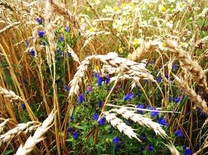 FOTKA - léto všude kolem nás, zlaté klásky....