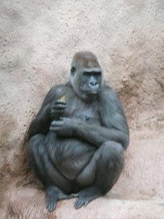 FOTKA - Praha - Zoo - v pavilonu goril.