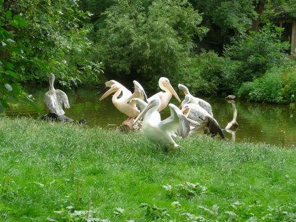 FOTKA - Praha - Zoo - pelikáni