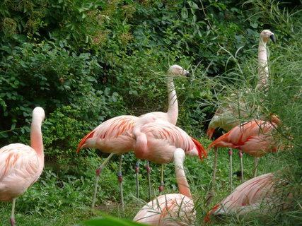 FOTKA - Praha - Zoo - plameňáci,,,,