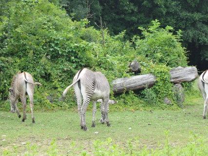FOTKA - Zebry. Kývají si oháňkami, ale vůbec ne současně.