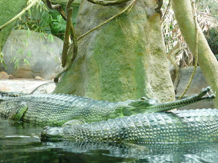 FOTKA - Praha - Zoo - krokodýli