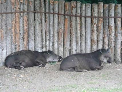 FOTKA - Praha - Zoo - tapíři