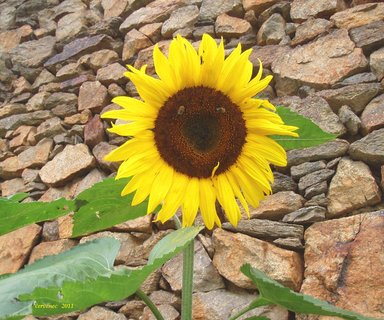 FOTKA - první letošní slunečnice