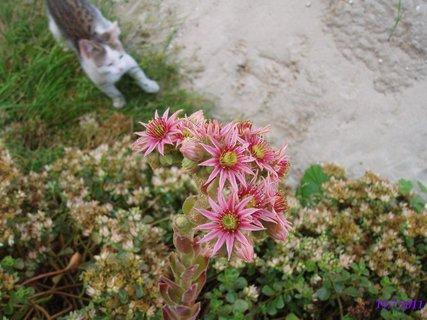 FOTKA - květ netřesku na zídce