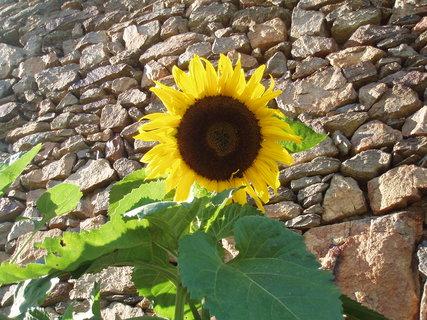 FOTKA - první letošní slunečnice .