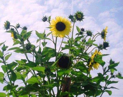 FOTKA - květy Slunečnice
