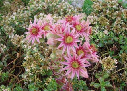 FOTKA - květy Netřesku *