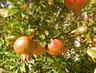 granátová jablíčka