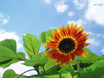 FOTKA - krása  Slunečnice