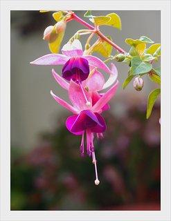 FOTKA - fuchsie na zahradě