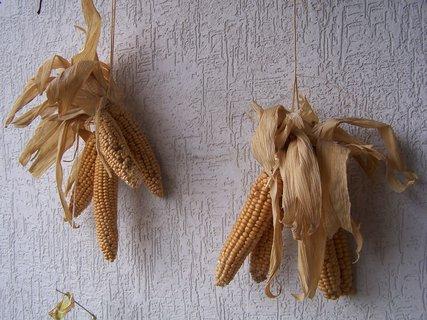 FOTKA - Kukuřice