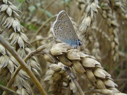 FOTKA - motýlek odpočívá na obilí...