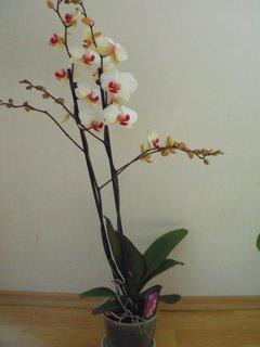 FOTKA - Nová orchidejka k svátku od manžela