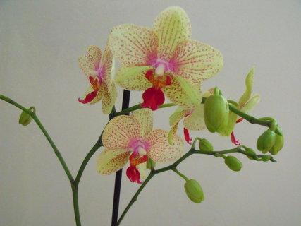 FOTKA - Orchidej v celé své kráse