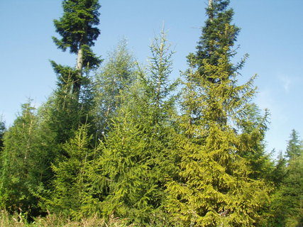 FOTKA - Jehličnany v lese
