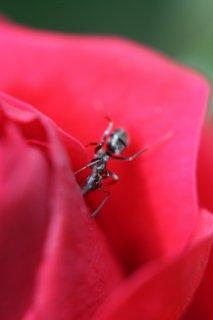 FOTKA - Růže a mravenec
