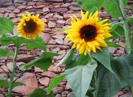 FOTKA - Slunečnice září