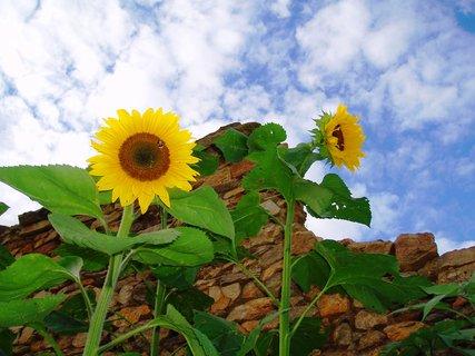 FOTKA - Slunečnice  - pohled z předu