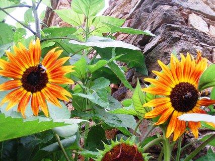 FOTKA - Slunečnice září .