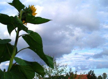 FOTKA - Slune�nice hled� na z�pad slunce