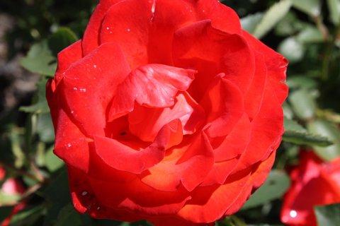 FOTKA - Růže XVI.