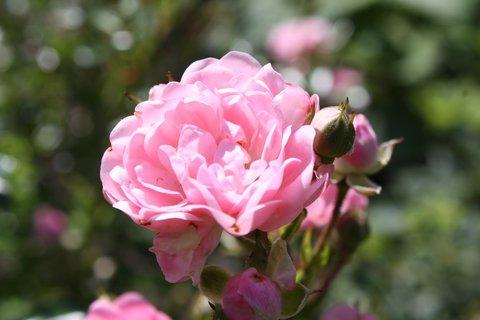FOTKA - Růže XVII.