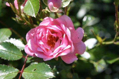 FOTKA - Růže XVIII.
