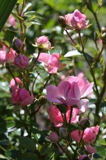 FOTKA - Růže XIX.