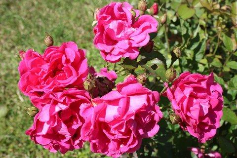 FOTKA - Růže XXI.