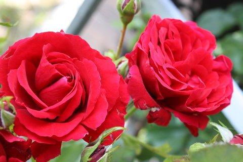 FOTKA - Růže XXIII.