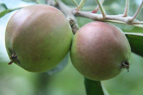 FOTKA - Jablíčka II.