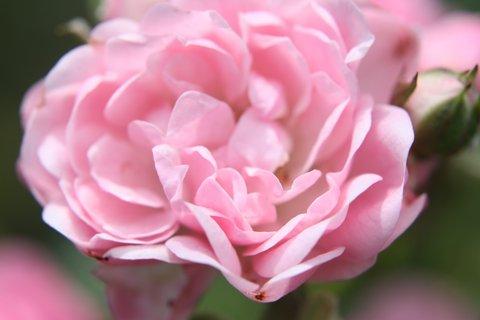 FOTKA - Růže XXVI.