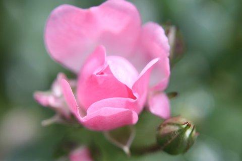 FOTKA - Růže XXVII.