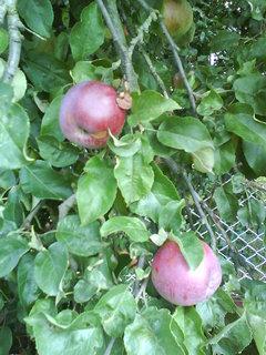 FOTKA - jablíčka už červenájí