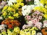 Krásné barvy chryzantém