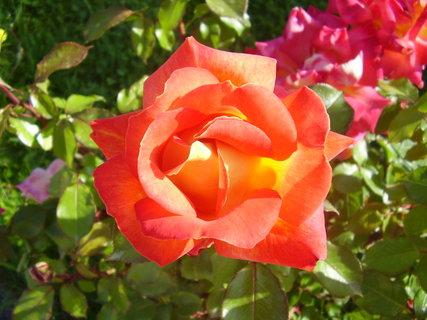 FOTKA - růže   ..   .