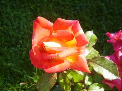 FOTKA - růže   -  královna květin