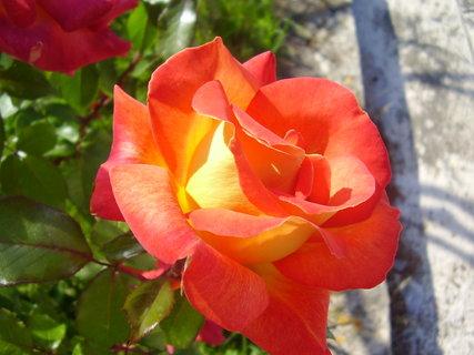 FOTKA - růže    ...    ..