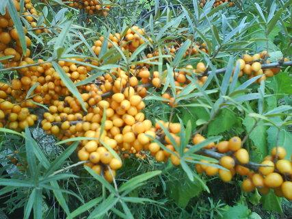 FOTKA - rakytník řešetlákový je velice vyjímečná rostlina