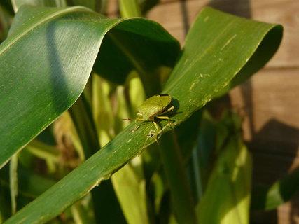 FOTKA - broucek na kukurici