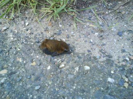 FOTKA - malý netopýt na silnici